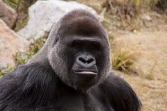 Gorilla Face. Closeup of silver back gorilla taken in Atlanta Zoo Stock Photos