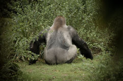 Gorilla Facing Away from Camera Showing. Gorilla sitting down with rear end showing royalty free stock photos