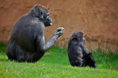 Gorilla family Royalty Free Stock Photos