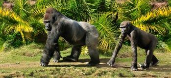 Gorilla family Royalty Free Stock Photography