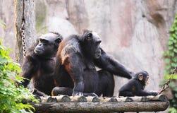 Gorilla family stock photo