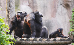 Gorilla family Stock Images