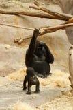 Gorilla family Royalty Free Stock Image