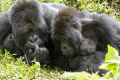 Gorilla family Royalty Free Stock Photo