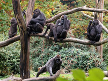 Gorilla family Stock Photo