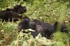 Gorilla family in Rwanda. A family of gorillas in the forest of Volcanoes National Park, Rwanda stock photography