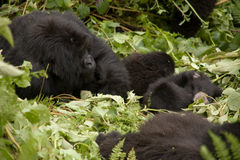Gorilla family in Rwanda. A family of gorillas in the forest of Volcanoes National Park, Rwanda stock image