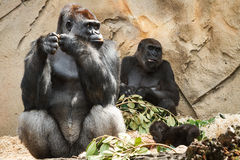 Gorilla family at Taronga Zoo Stock Photography