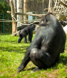 Gorilla family Royalty Free Stock Image