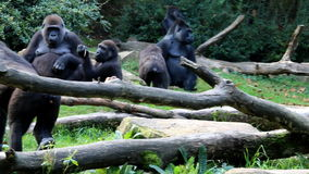 Gorilla family. Troop of gorillas, existing of one adult male or silverback, multiple adult females and their offspring. The silverback is the center of the stock footage