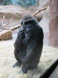 Gorilla Royalty Free Stock Image