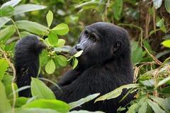 Gorilla Feeding Stock Foto