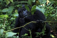Gorilla Feeding Stock Fotografie