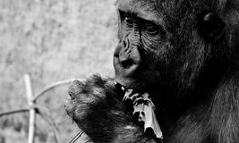 Gorilla, Feeding, Hungry, Greedy Royalty Free Stock Photography