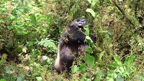 Gorilla Feeding negro grande en el bosque almacen de metraje de vídeo