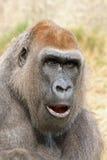Gorilla Royalty Free Stock Photography