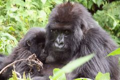 Gorilla female mother breastfeeding Royalty Free Stock Image