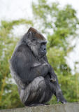 Gorilla Female Sitting. On a Platform Royalty Free Stock Images