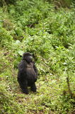 Gorilla femminile adolescente della montagna Fotografie Stock Libere da Diritti