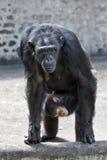 Gorilla femminile con il bambino Fotografia Stock