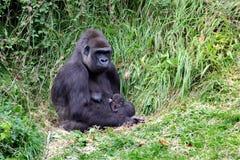 Gorilla femminile della pianura con appena nato Immagini Stock