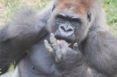 Gorilla fingers Stock Photos
