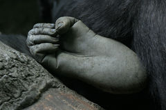Gorilla Foot. Closeup of gorilla foot royalty free stock image