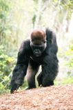 Gorilla foraging Stock Photo