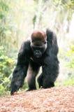 Gorilla foraging Stock Photo