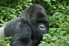 Gorilla in the forest Royalty Free Stock Image