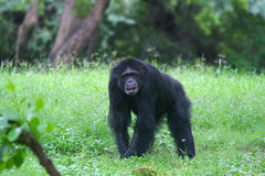 Gorilla in the forest Stock Photo