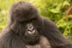 Gorilla in forest looks sadly into distance Stock Images