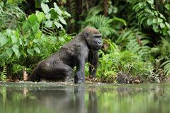 Gorilla in Gabon, lowland gorilla. In water, unique animal,tropical Gabon Royalty Free Stock Photo