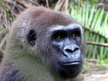 Gorilla, Gabon, West Africa Stock Image