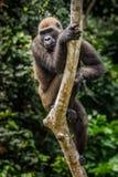 Gorilla in Gabon, western lowland gorilla in water Gabon stock photography