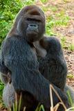 Gorilla - gedetailleerde mening Stock Afbeeldingen