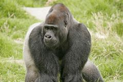 Gorilla Glance Stock Images
