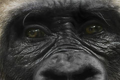 Gorilla glance stock photography