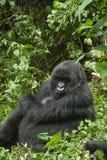 Gorilla Glaring Fotografia Stock