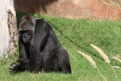 Gorilla gorilla Stock Photos