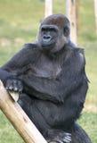 Gorilla gorilla Stock Images