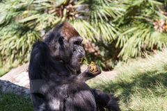 Gorilla - (Gorilla gorilla). Western Gorilla at a zoo. Yes he is eating his own poop Stock Image