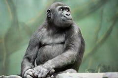 Gorilla. Royalty Free Stock Photography