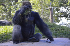 Gorilla. A gorilla in the outdoors Stock Image