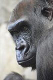 Gorilla. A gorilla in the outdoors Royalty Free Stock Images