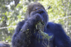 Gorilla. A gorilla in the outdoors Stock Images