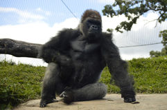 Gorilla. A gorilla in the outdoors Royalty Free Stock Photo