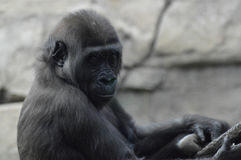 Gorilla. A gorilla in the outdoors Royalty Free Stock Image
