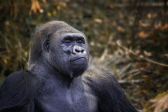 Gorilla. S are ground-dwelling, predominantly herbivorous apes that inhabit the forests of central Africa stock photography