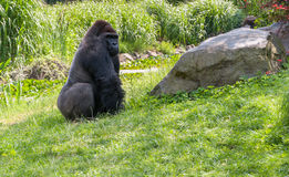 Gorilla on grass Royalty Free Stock Photos